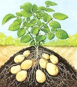aardappel_tek_00
